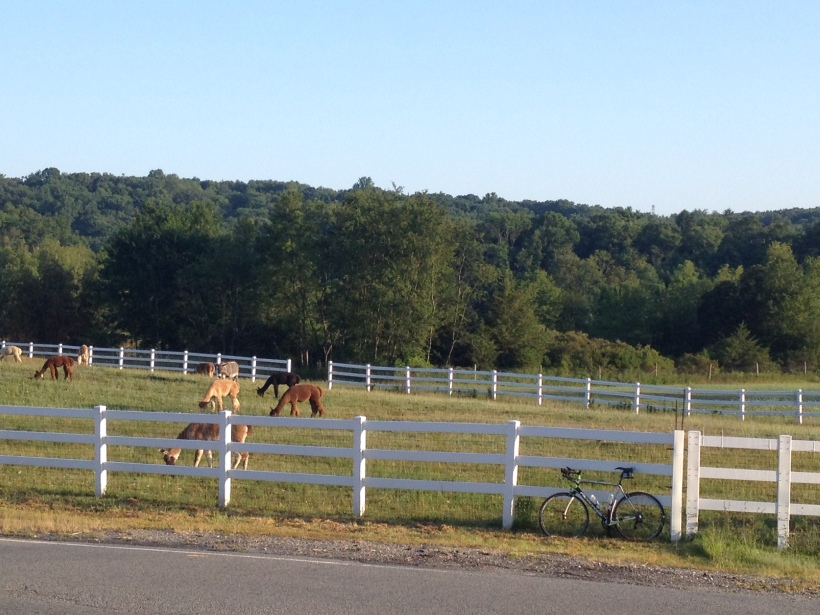 Alpacas and a Synapse....  The farmlands of New Jersey